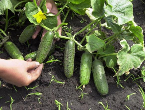 выращивание огурцов инструкция