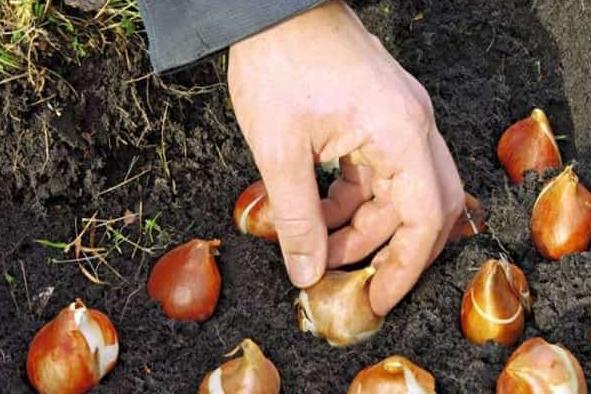 Когда сажать тюльпаны в открытый грунт осенью в спб 98
