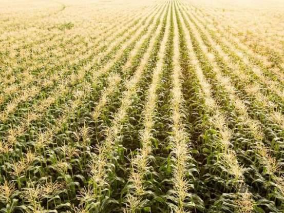 Как сажают кукурузу в поле 887