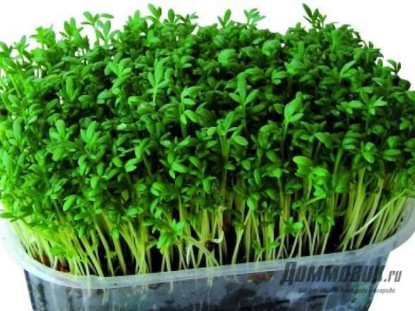 Руккола салат на подоконнике