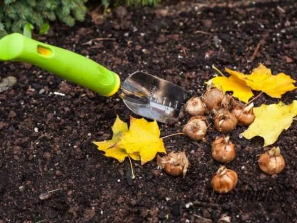 Какие луковичные сажаемые осенью 1