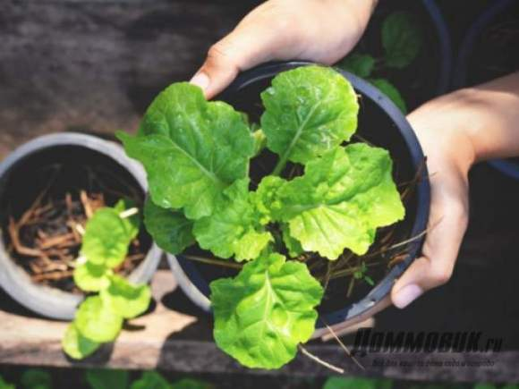Выращивание салата в сентябре 7