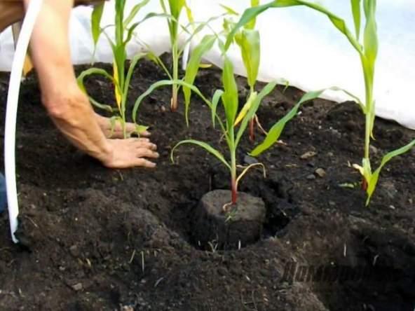 Как правильно сажать кукурузу фото
