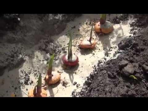 Как высадить гладиолусы
