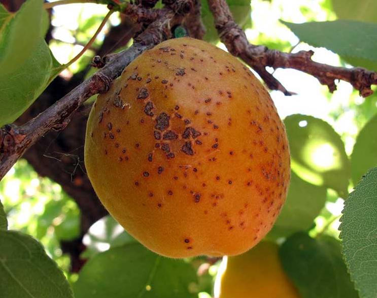Вредители абрикоса в картинках и борьба с ними