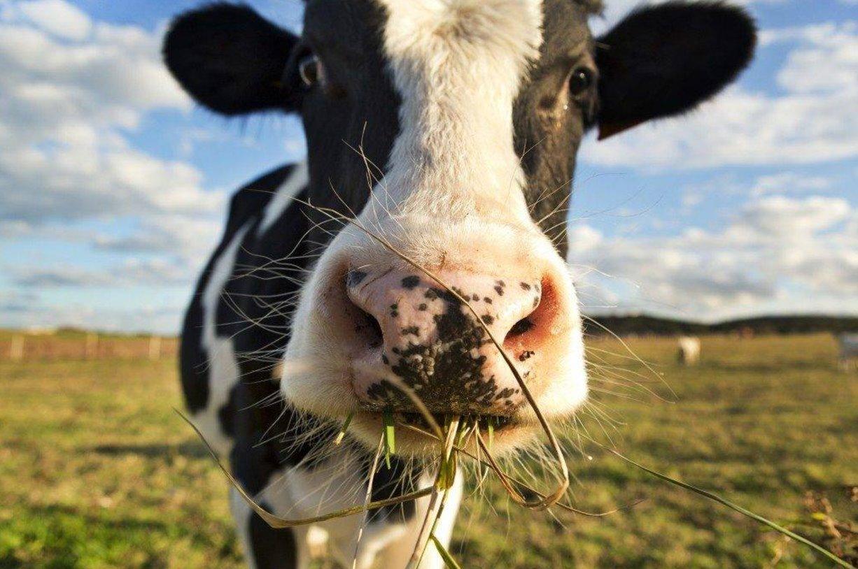 О корове картинки