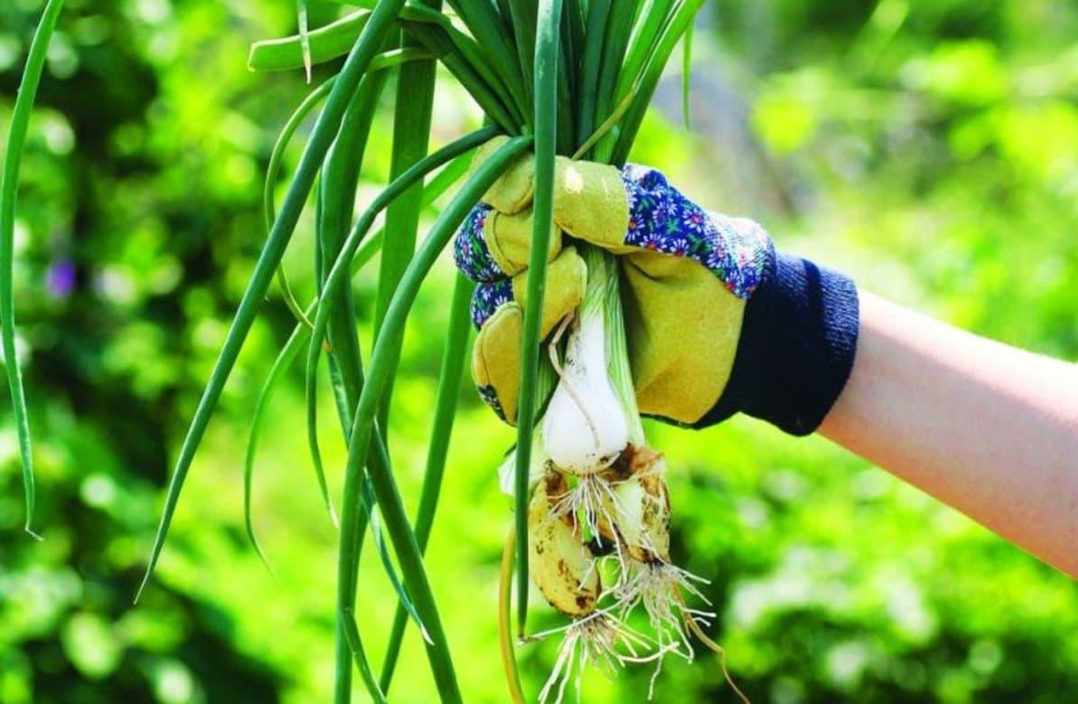 Многолетний лук - сорта и виды