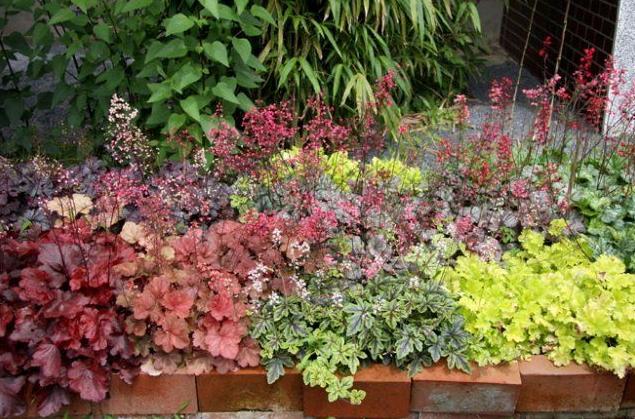 Цветок с изюминкой – гейхера – украшение вашего сада