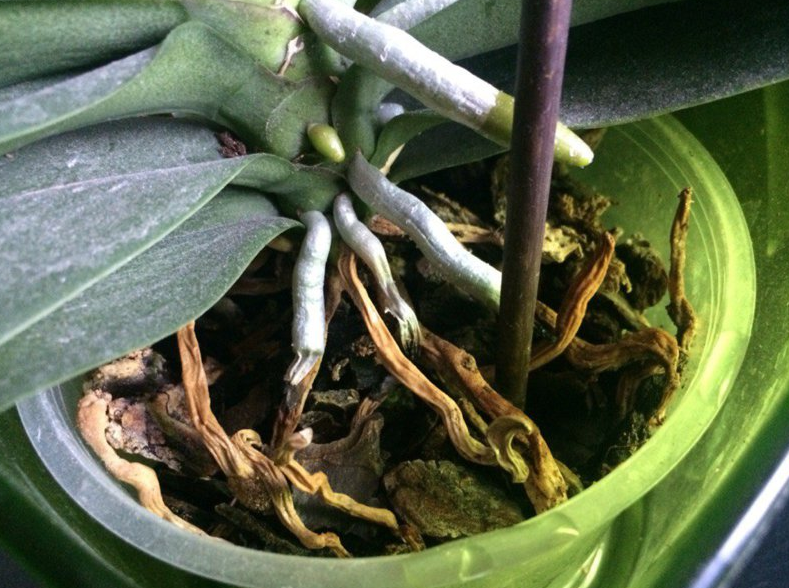 Корни орхидеи гниют и сохнут – что делать? Реанимация корней орхидеи