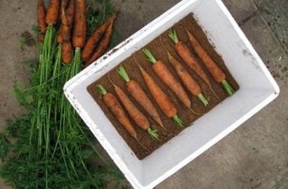 Хранение моркови зимой в домашних условиях