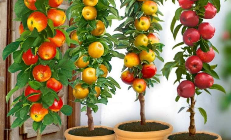 Правила посадки колоновидных яблонь весной