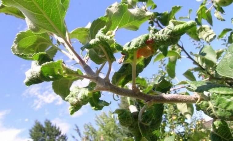 почему у яблони скручиваются листья причины