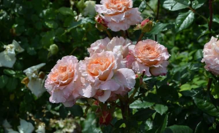 Роза болезни и борьба с ними