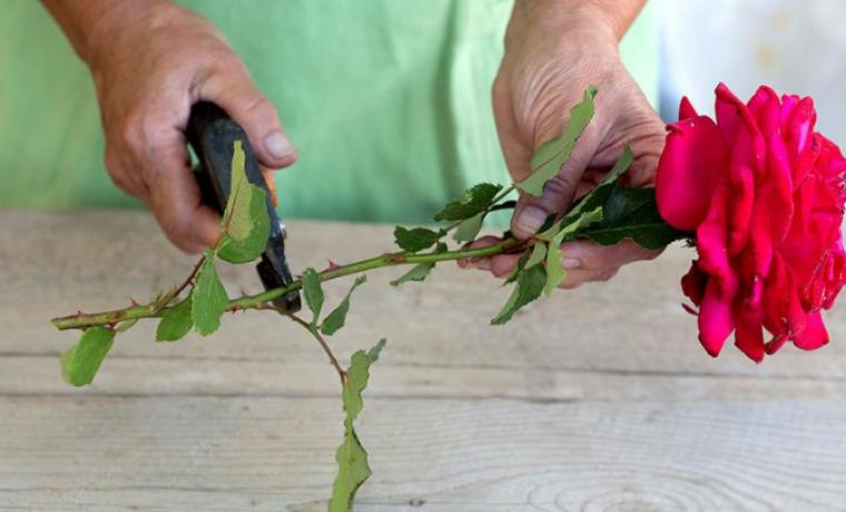 Как правильно посадить розу из купленного или подаренного букета