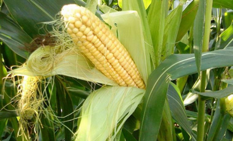 Как правильно вырастить кукурузу (рассада и семена)