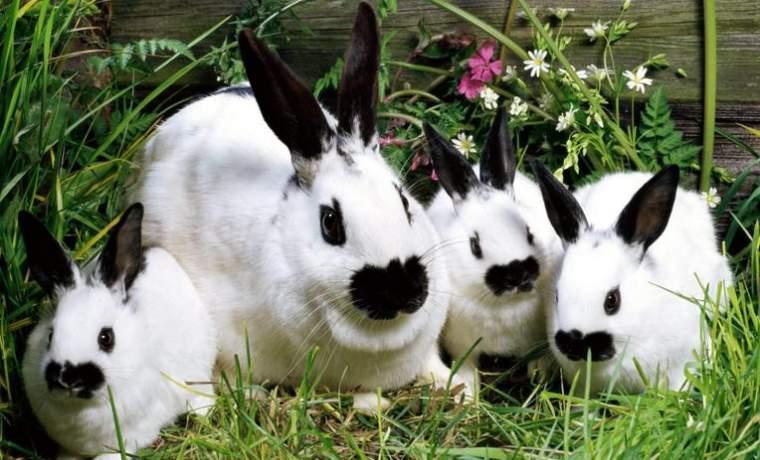 Обморожение ушей у кроликов