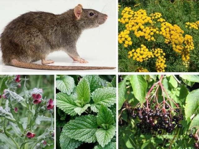 Как избавиться от мышей дома народными средствами