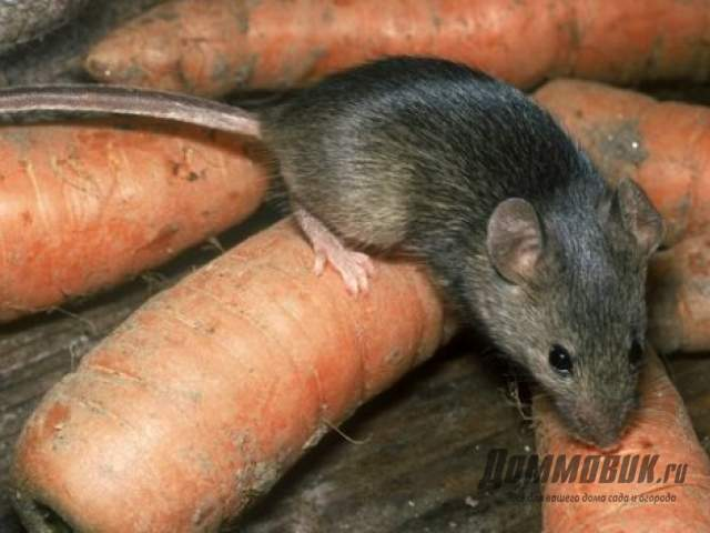 Как избавиться от мышей в доме