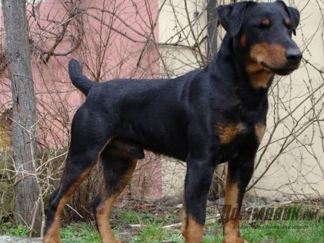 породы собак средних размеров