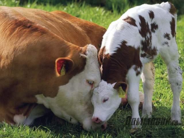 Беременность коровы