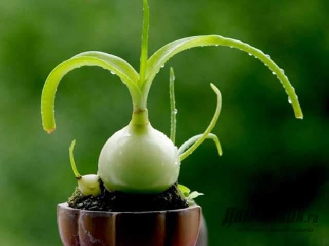 Индийский лук выращивание