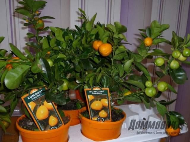 Кумкват выращивание в домашних условиях