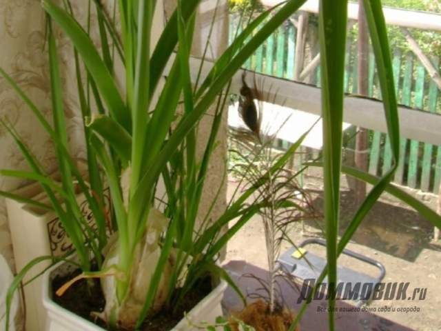 Индийский лук как выращивать в домашних условиях