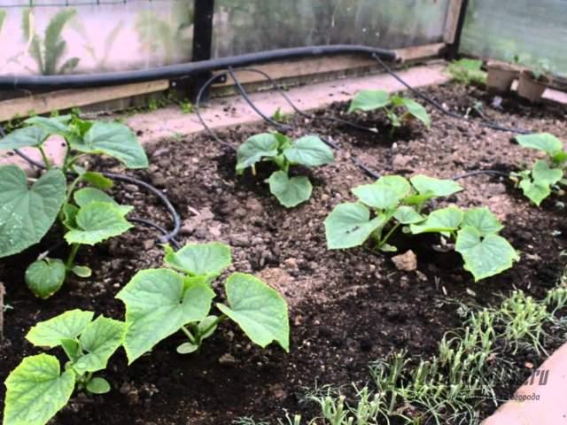 Как посадить тыкву в открытый грунт