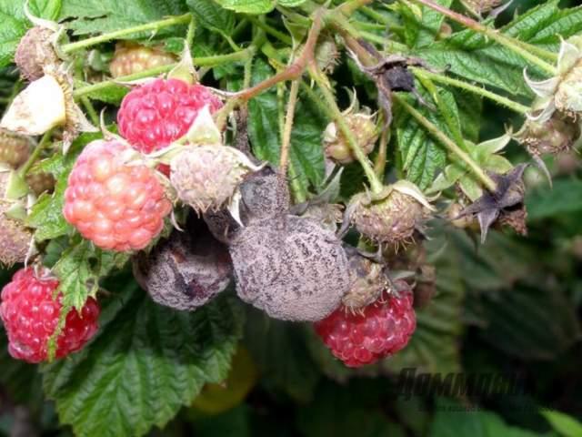 Обработка малины от вредителей и болезней