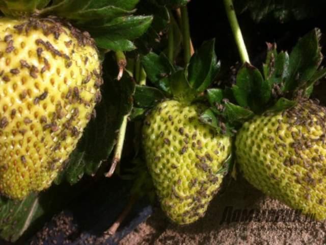 Чем обработать клубнику от вредителей