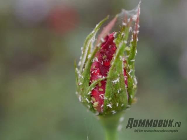 Вредители бутонов роз