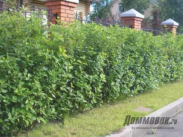 Какие кусты посадить вдоль забора дома и на даче