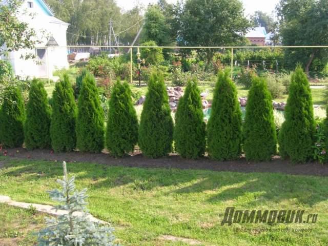 Живой забор на даче что посадить и как вырастить