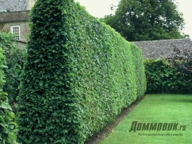 Живой забор на даче - как вырастить