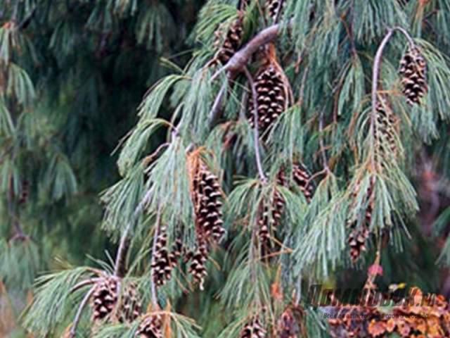 хвойные деревья для сада