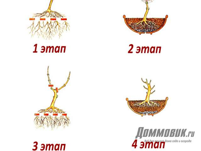 этапы выращивания бонсай