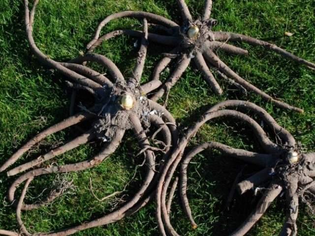 корни эремуруса