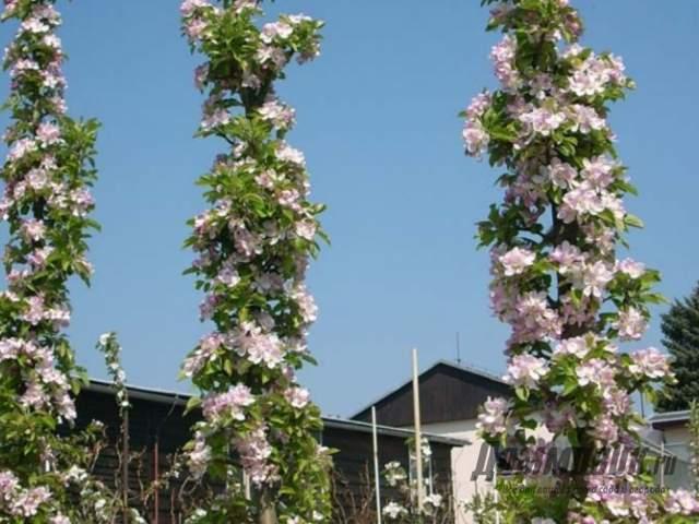 цветут колоновидные яблони