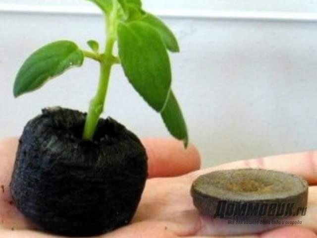 Проращивание рассады в торфяных таблетках