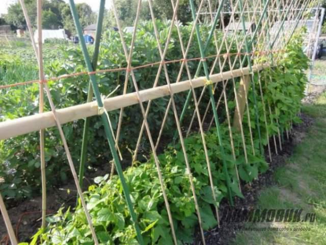 Выращивание фасоли в открытом грунте