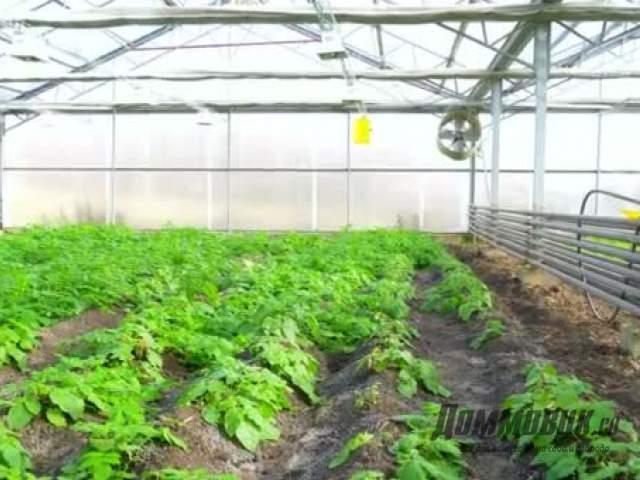 Теплица для выращивания фасоли