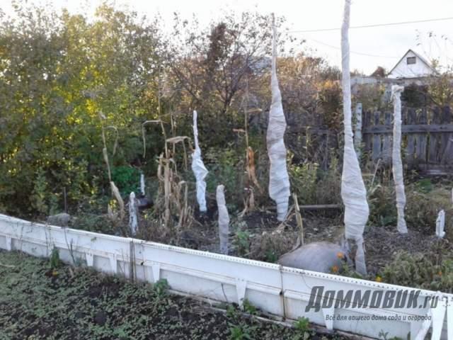 укрытие колоновидных яблонь