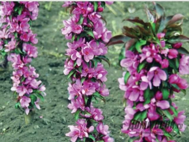колоновидные яблони в цвету