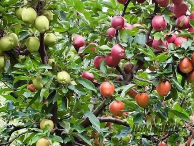 Многосортовая яблоня