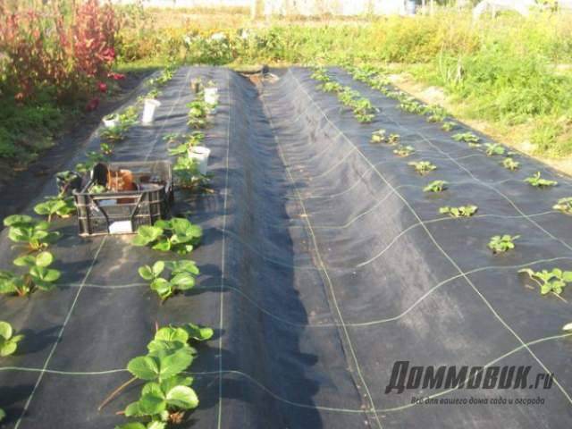 Посадка растений на спанбонд