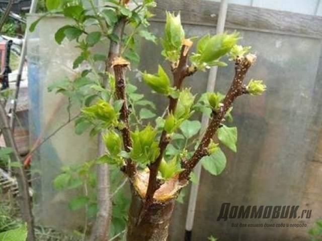Прививка многосортового дерева