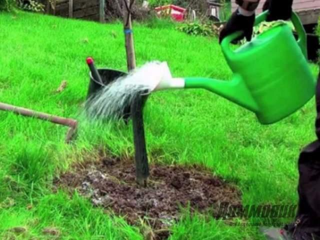 Уход за карликовыми деревьями
