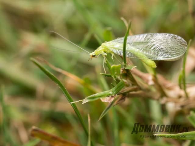 Зеленая златоглазка