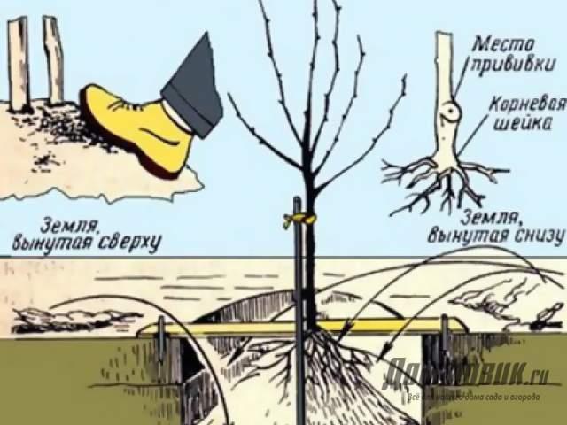 Правила посадки карликовых деревьев в саду