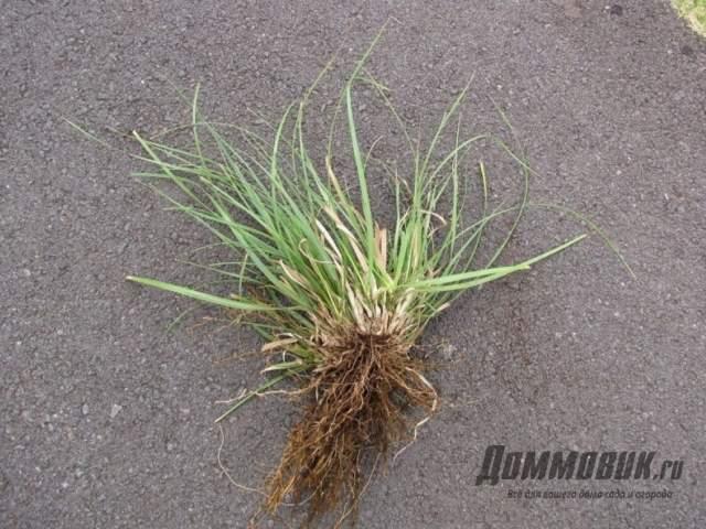 пампасная трава рассада